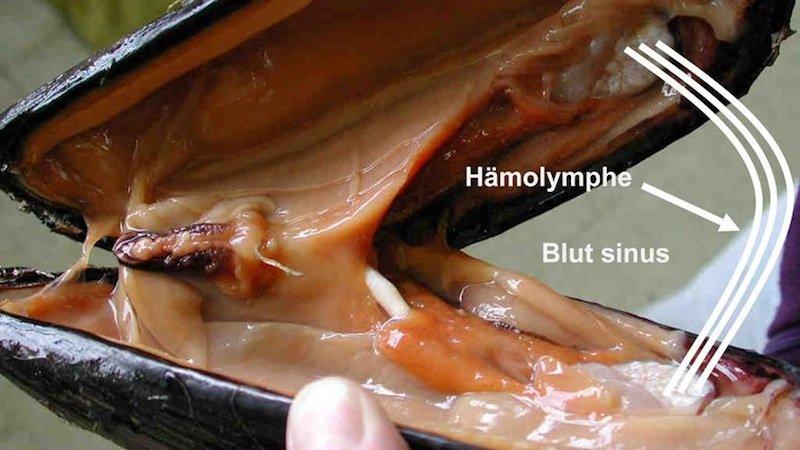 Welchen Einfluss über Schwerelosigkeit und Weltraumstrahlung auf die Phagozytose der Hämatozelen von Muschelzellen aus? Diese Frage sollen Hämozyten der Miesmuschel (Mytilus edulis) auf der ISS beantworten.