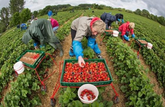 Erdbeerpflanzen gedeihen am besten, wenn sie von Bienen bestäubt werden. Bislang sind die Insekten aber dabei sehr zurückhaltend. Wissenschaftler wollen sie nun für die Besamung der Erdbeerpflanzen ausbilden.