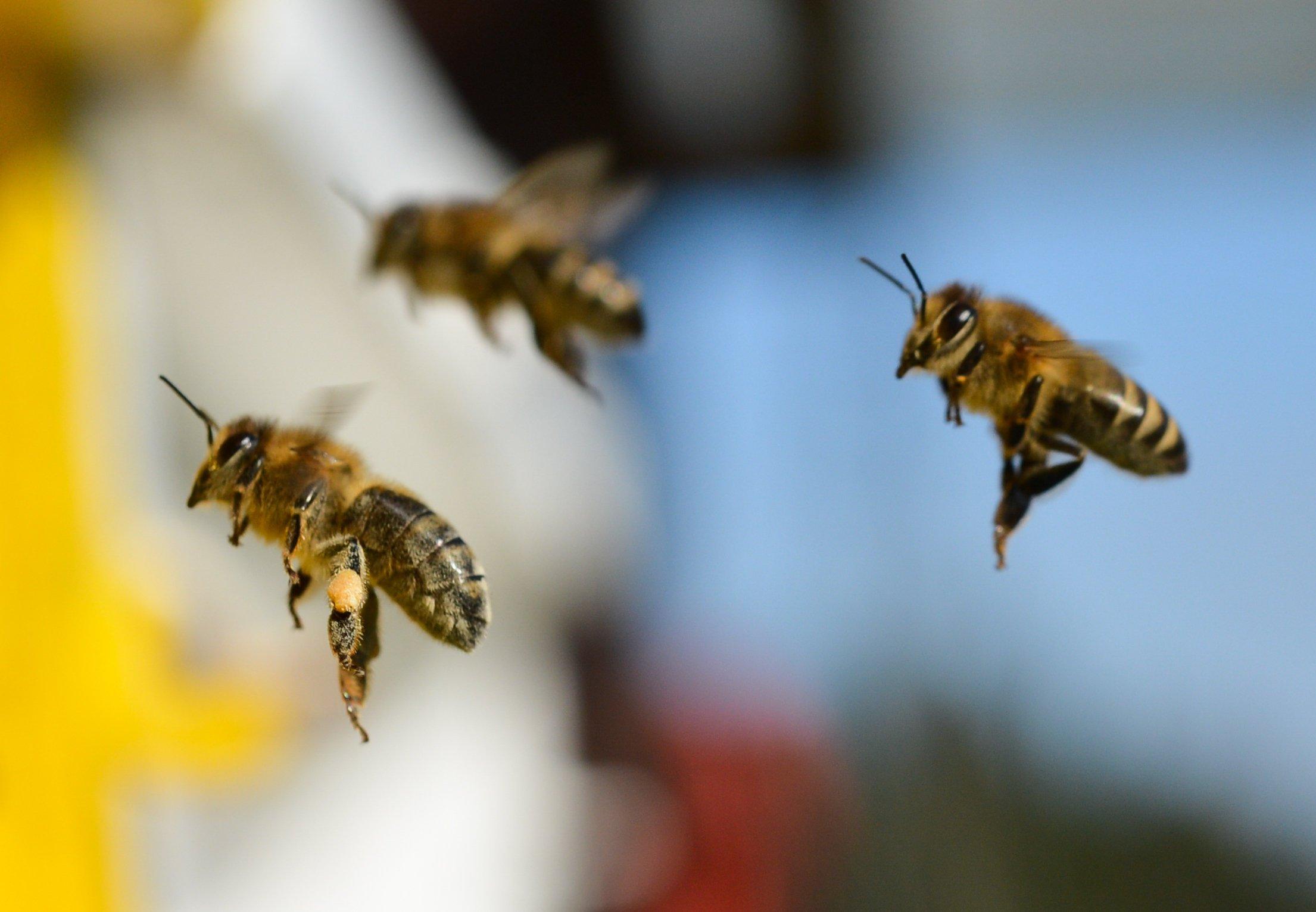 In Großbritannien gehen Bienen derzeit in die Schule. Sie sollen lernen, dass es sich lohnt Erdbeerpflanzen zu bestäuben – und dies dann tun.