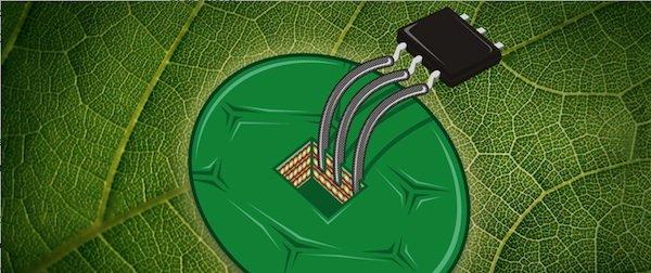 ETH-Wissenschaftler bauten aus Zellen der Tabakpflanze den mit Abstand empfindlichsten Temperatursensor.
