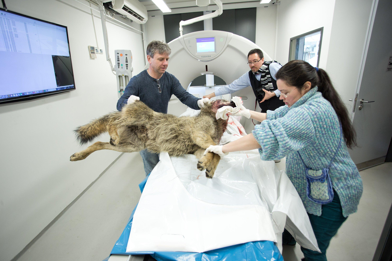 Mit Hilfe des neuen Computertomographen am Institut für Wildtierforschung  in Berlin können nun auch größere Tiere