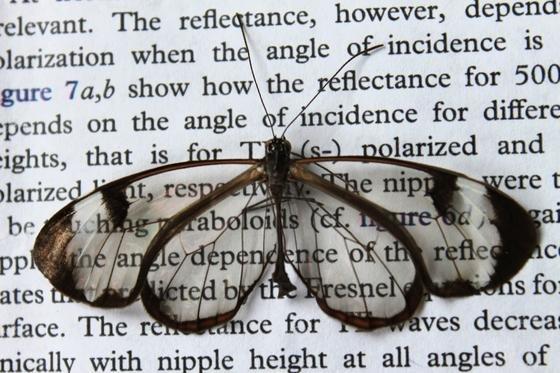Im Gegensatz zu anderen durchsichtigen Flächen reflektieren die Flügel des Glasflüglers kaum Licht. Brillengläser oder Handydisplays könnten von der Erforschung des Phänomens profitieren.