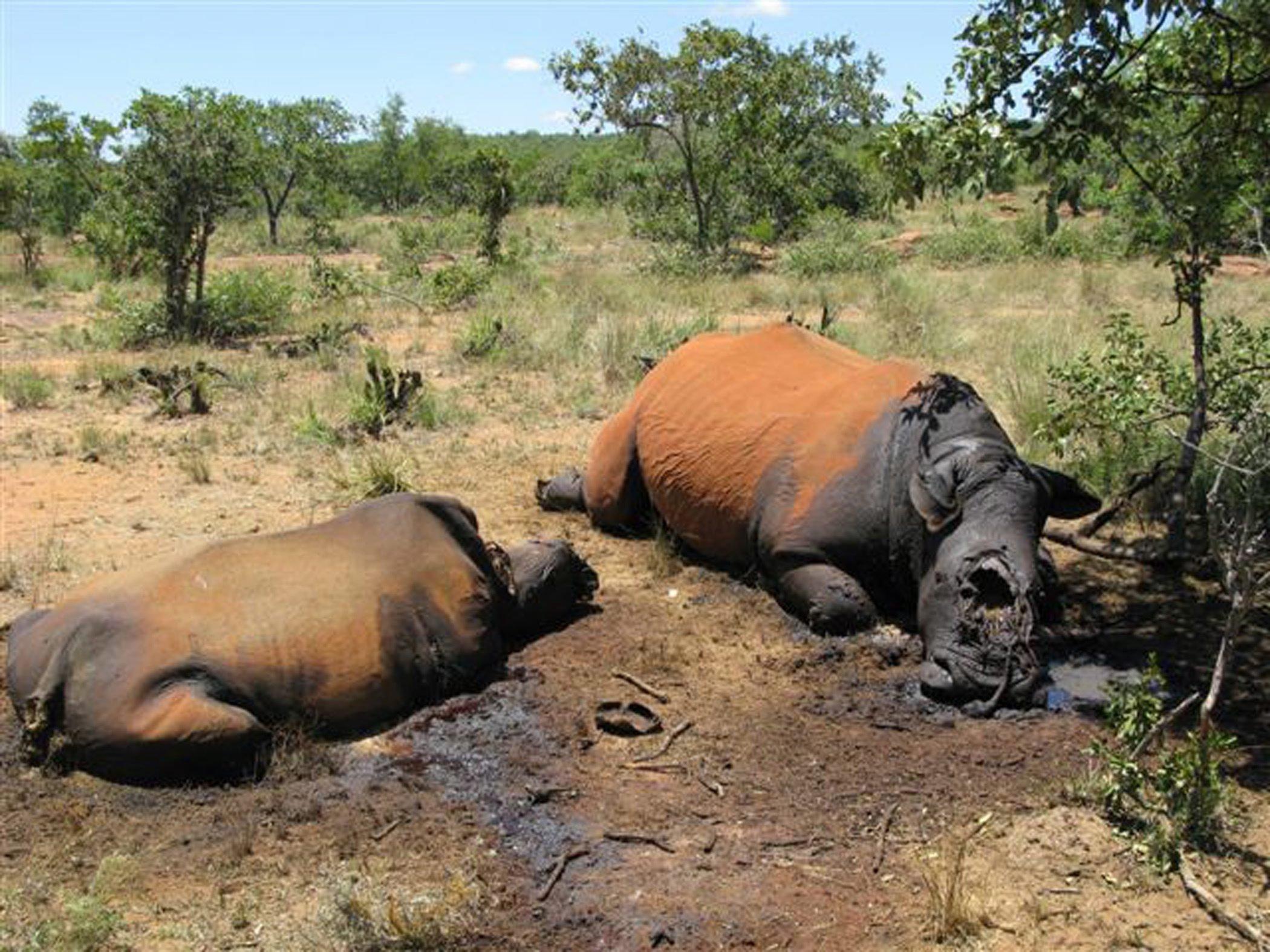 Von Wilderern getötete Nashörner liegen im Distrikt Waterberg (Südafrika) in der Savanne. Ein Pfund ihres Horns kostet auf dem Schwarzmarkt 30.000 US-Dollar. Das macht pro Tier 240.000 Dollar.