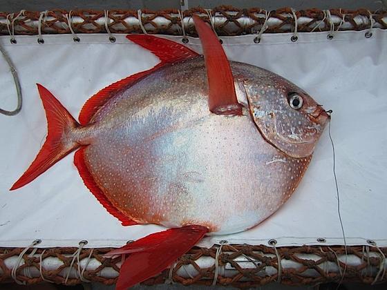 Der Gotteslachs:Der Tiefseefisch kann bis zu 1,80 m lang werden und hat einen temperaturregelnden Flüssigkeitskreislauf erfunden – lange bevor der Mensch auf diese Idee kam.