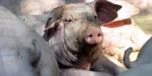 IT-System ruft Schweine beim Namen zur Fütterung