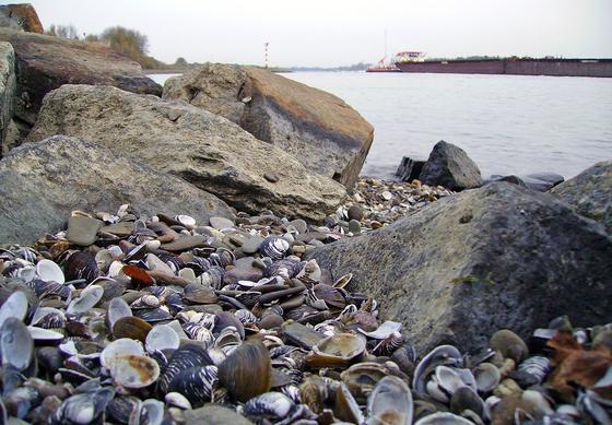 Muscheln am Niederrhein bei Wesel: Rheinmuscheln unterhalb von Worms bis Holland reichern Seltene Erden an. Das haben Bremer Forscher herausgefunden.