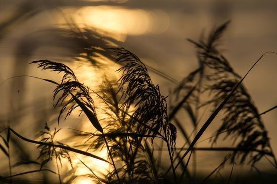 Schilf im Sonnenuntergang: Die Pflanze ist nicht nur hervorragendes Material für die Deckung von Dächern. Sie könnte auch Akkus leistungsfähiger machen.