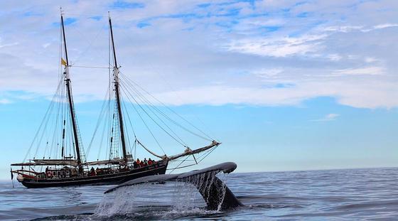Segelschiff Opal bei einer Waltour: Der 33 m lange Schoner mit einem Rumpf aus Eiche bietet 60 Menschen Platz.