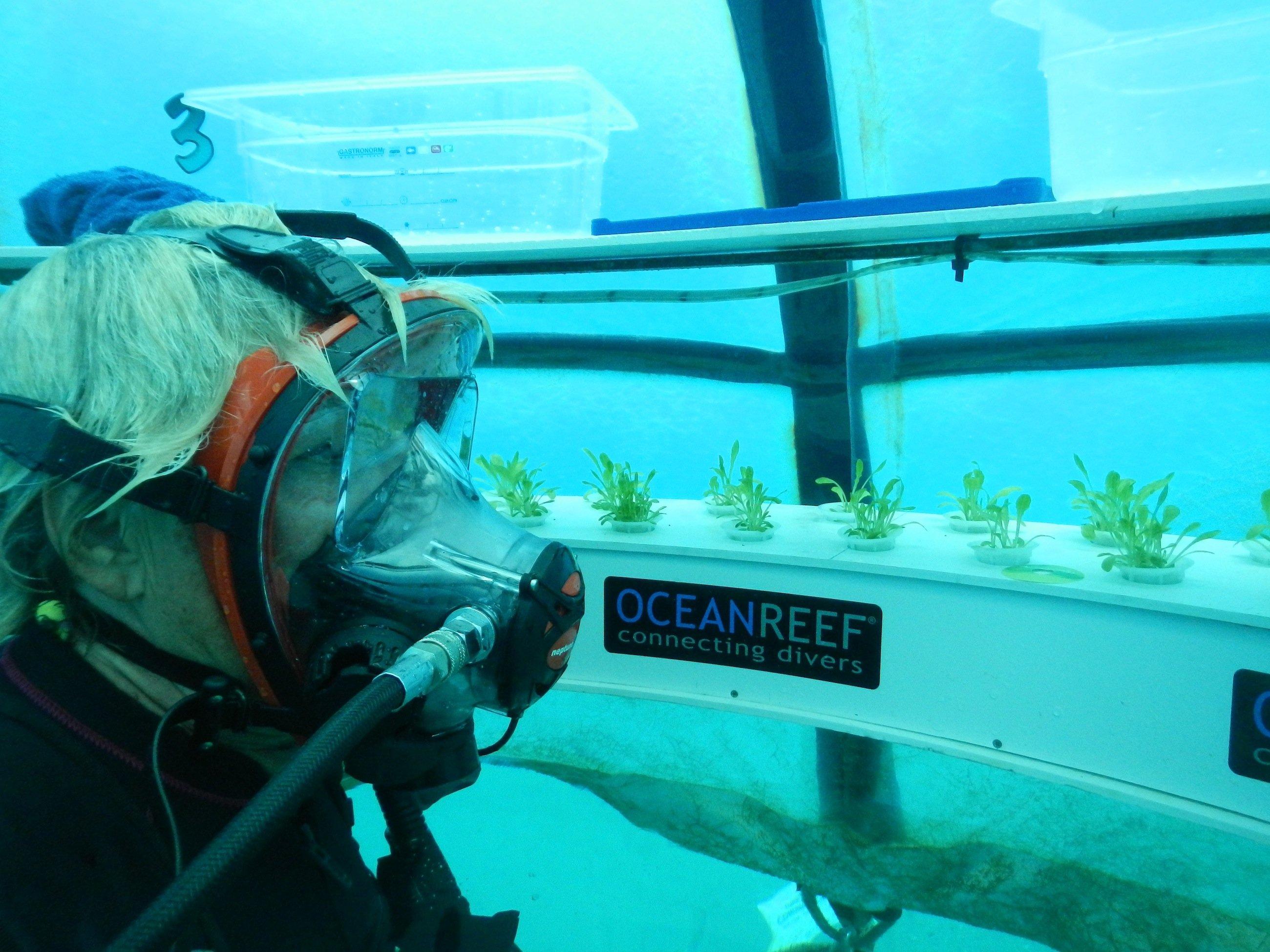 Taucher im Unterwasser-Gewächshaus: Die Pflanzen wachsen zwar unter Wasser, sind aber von einer Kunststoffglocke mit Luft geschützt.