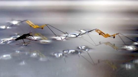 Wasserläufer und Roboter auf einer Wasserfläche: Ingenieuren der Universitäten Harvard und Seoul ist es gelungen, künstliche Wasserläufer zu bauen, die sich wie die Vorbilder aus der Natur vom Wasser abstoßen können ohne zu versinken.