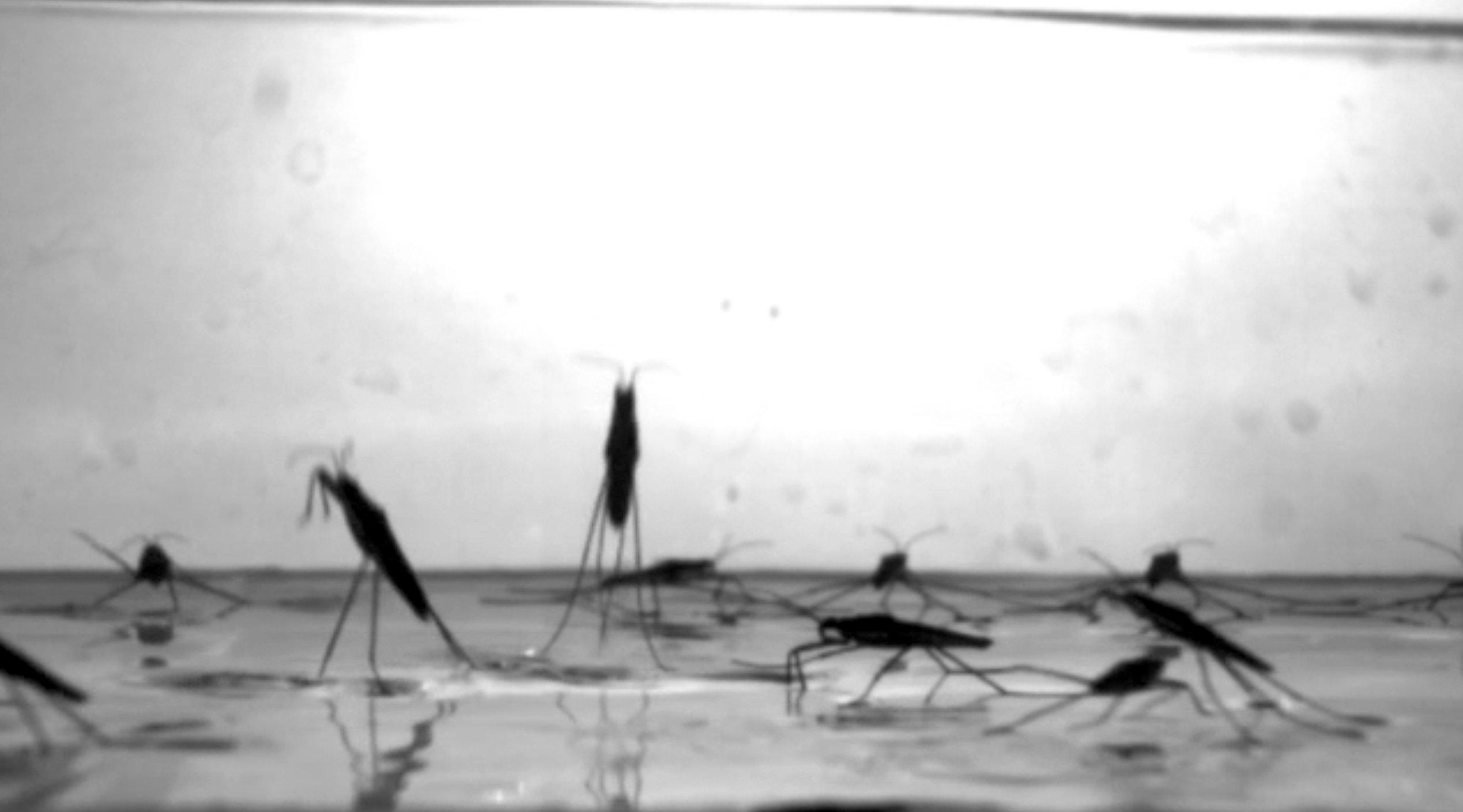 Die Sprungbewegungen der Wasserläufer haben die Ingenieure mit einer Hochleistungskamera beobachtet, um eine entsprechende Mechanik nachbauen zu können.
