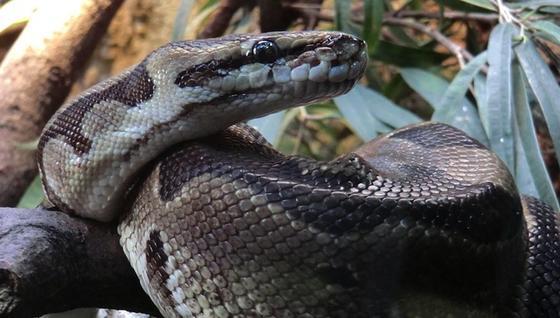 Ihre Schuppenstruktur sorgt dafür, dass sich Schlangen mit äußerst geringer Reibung fortbewegen können.