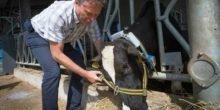 Hightech im Versuchsstall überwacht Kühe auf Schritt und Tritt