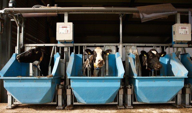 Im Versuchsstall Frankenforst: Die blauen Futterwiegetröge erfassen automatisch, wie viel Nahrung die Kühe aufnehmen.