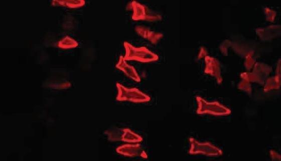 Die kleiner Roboterfische aus dem 3D-Drucker könnenGifte aus verunreinigtem Wasser herausfiltern.