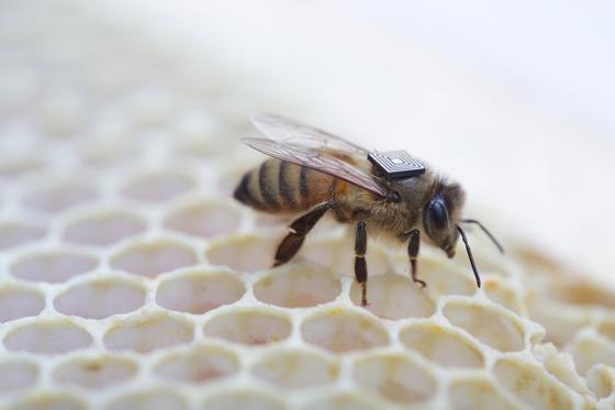 Keinen Schmuck sondern einen RFID-Chip trägt diese Biene auf dem Rücken. Sie ist eine von10.000 Bienen im australischen Tasmanien, die so ausgerüstet Daten sammelt, um die Ursache für das mysteriöse Massensterben der Bienen finden zu können.