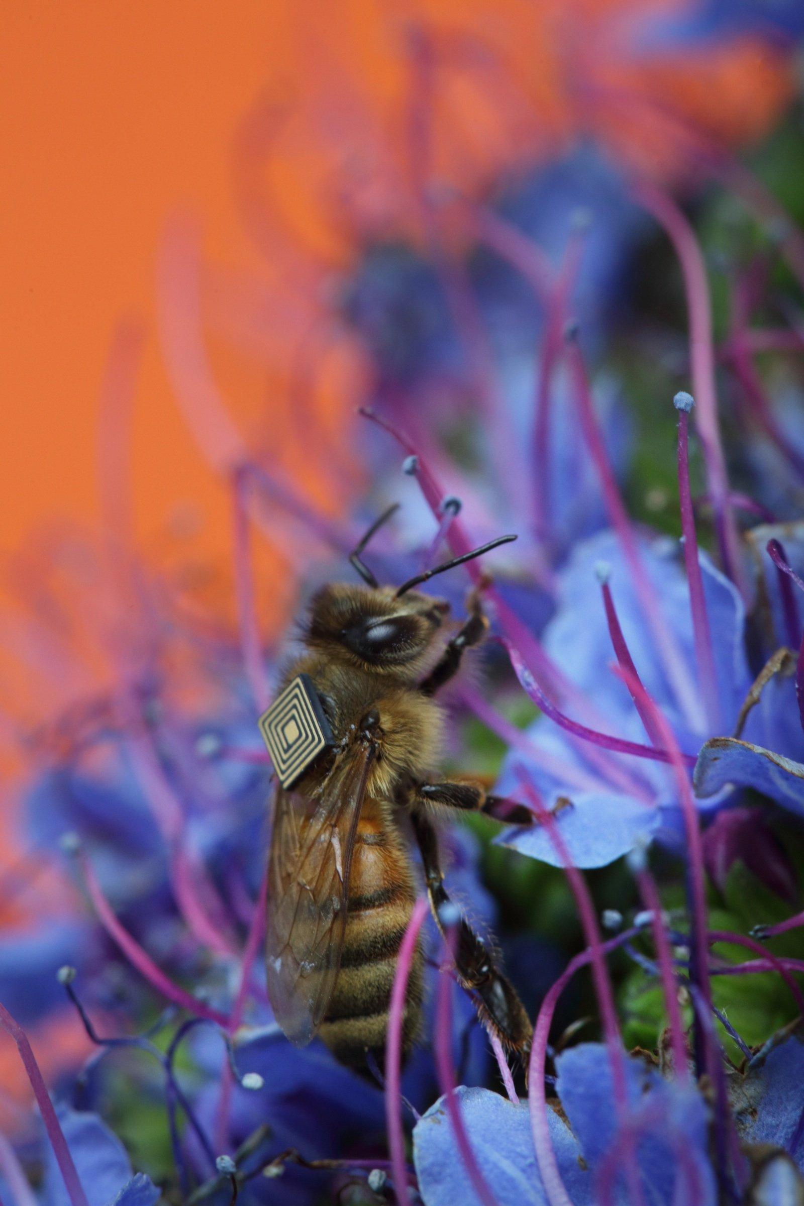 Fleißige Biene: Ihren Intel-Rucksack auf dem Rücken versorgt sie durch Vibrationen selbstständig mit Strom.