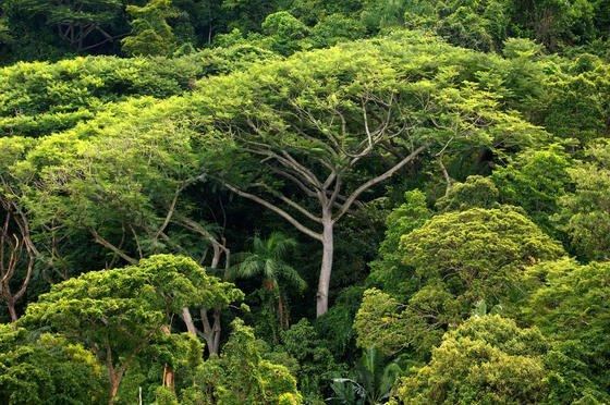 Dichter Atlantischer Regenwald auf der Ilha do Cardoso im Bundesstaat Sao Paulo: Derzeit gibt es mehr als drei Billionen Bäume auf der Erde, achtmal mehr als bislang vermutet.