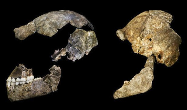 Der Schädel des Homo naledi von der Seite aufgenommen.