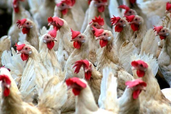 """Zum Gackern: Bei der Verleihung der """"Ig-Nobelpreise"""" spielte auch ein Huhn als Forschungsobjekt eine tragende Rolle."""