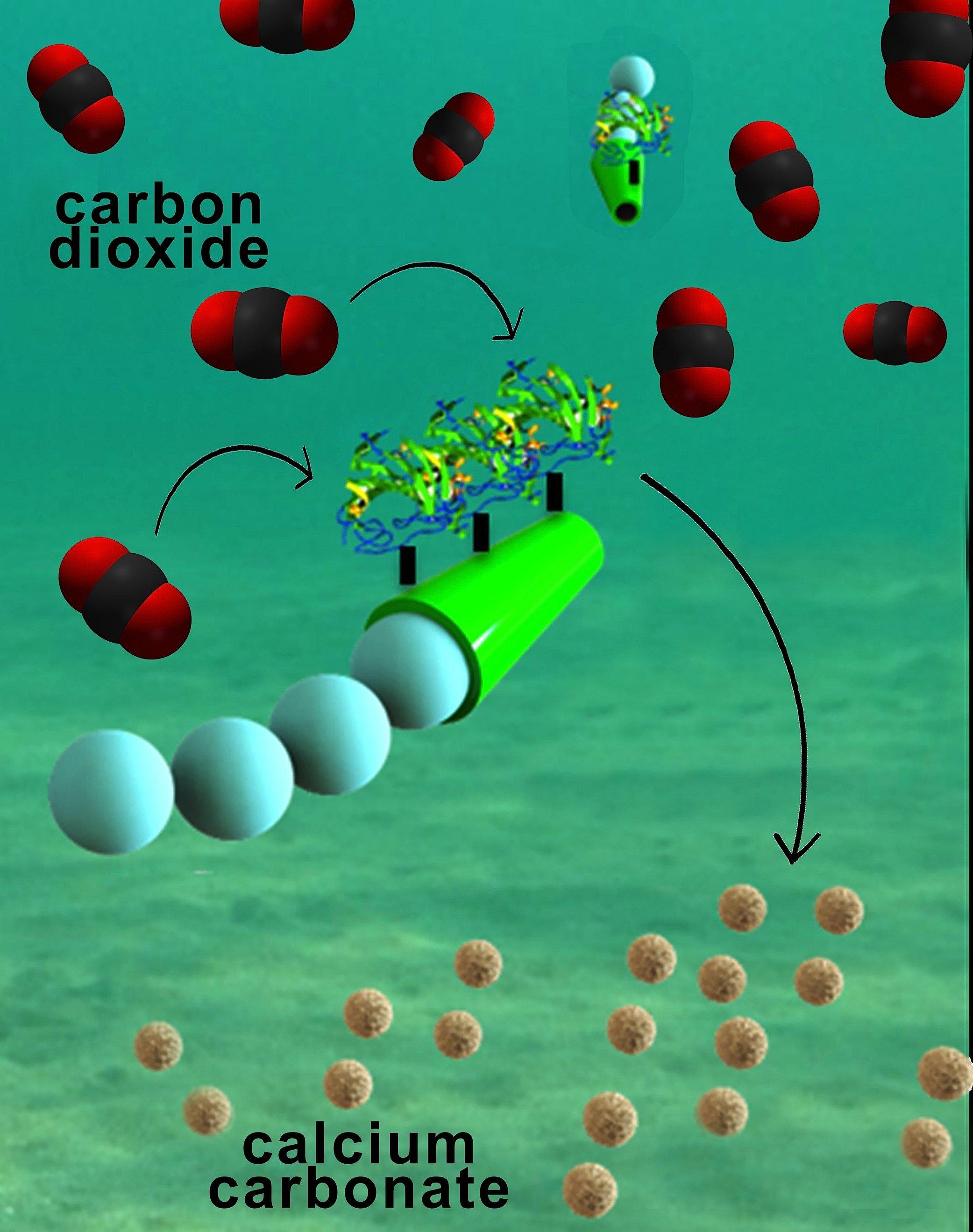 Die Mikromotoren bestehen aus einer Röhre mit einer Polymer-Oberfläche, auf der sich das Enzym Carboanhydrase befindet. Das Enzym ist der Katalysator für eine Reaktion zwischen dem gelösten CO2 und dem Wasser zu Bicarbonat, das wiederum mit zugesetztem Calciumchlorid zu festem Calciumcarbonat reagiert.