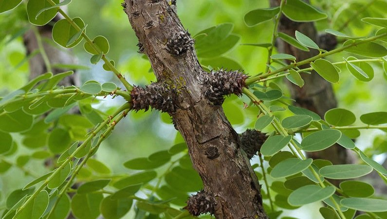 Phyllanthus engleri:Die Rinde enthält Englerin-A. Diese Substanz lässt Nierenkrebszellen absterben.