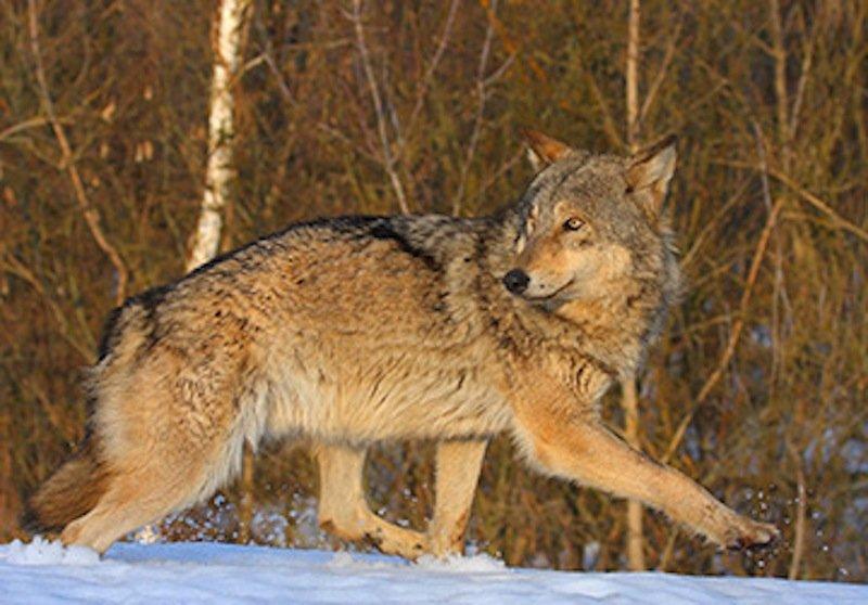 Wölfe stört die Strahlung nicht: In den Gebieten um Tschernobyl leben mittlerweile sieben Mal mehr Exemplare als in anderen Naturreservaten Weißrusslands.
