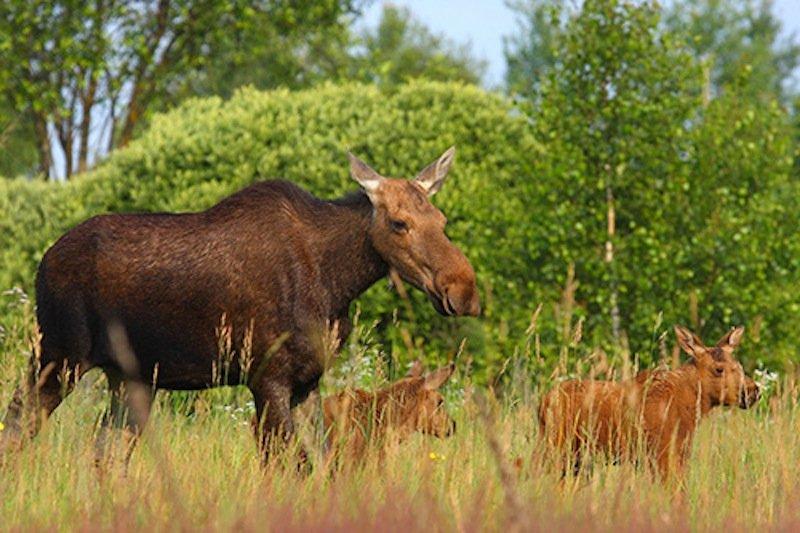 Auch Elche scheint die Strahlung nicht sonderlich zu stören. Ihre Population wächst in den verstrahlten Gebieten kontinuierlich.