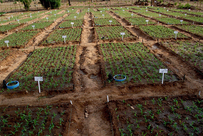 Feldversuch in Tamale (Ghana): Durch den Einsatz von Biokohle konnte Forscher Volker Häring den Ernteertrag um 20 % verbessern.