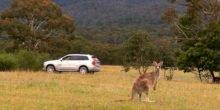 Volvo: Känguru-Erkennungssystem soll Kollisionen vermeiden