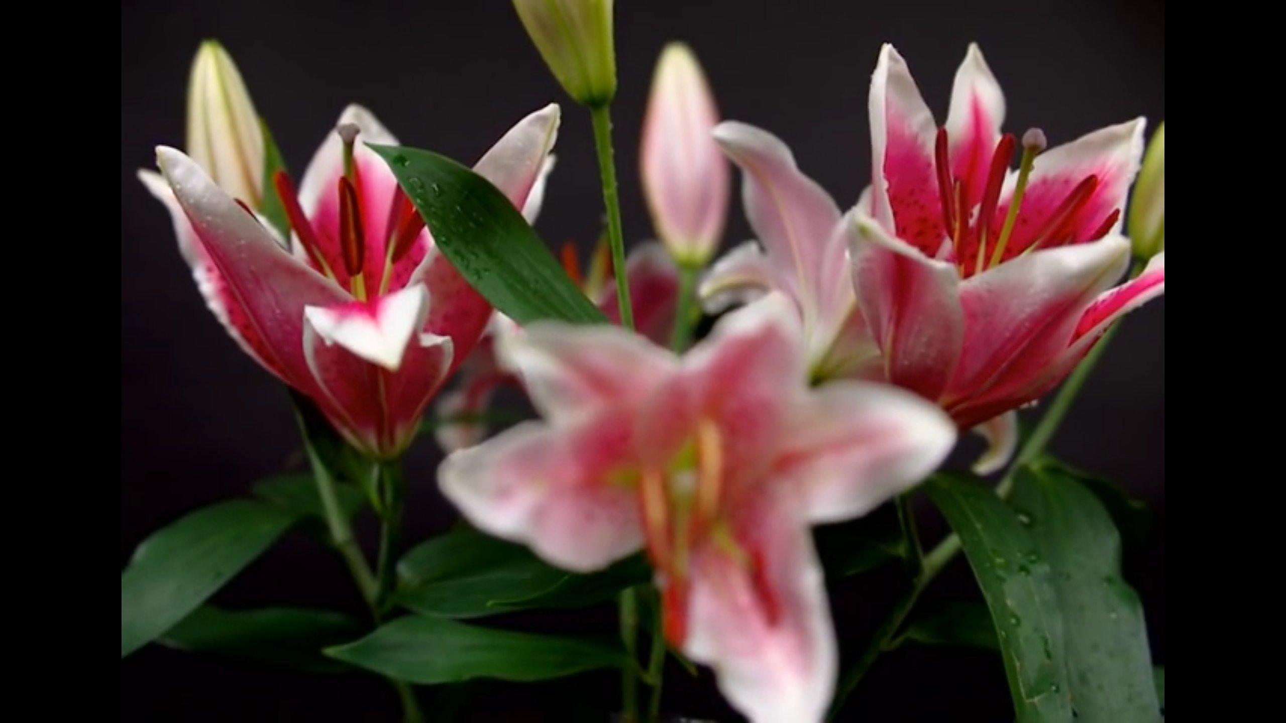 Filmsequenz aufgehender Blumen: Zunächst konzentriert sich der Kameramann auf die Blumen im Hintergrund ...