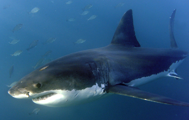 Weißer Hai: Nicht nur im Film eine Gefahr. An den Stränden Australiens häufen sich Hai-Attacken auf Schwimmer und Taucher.
