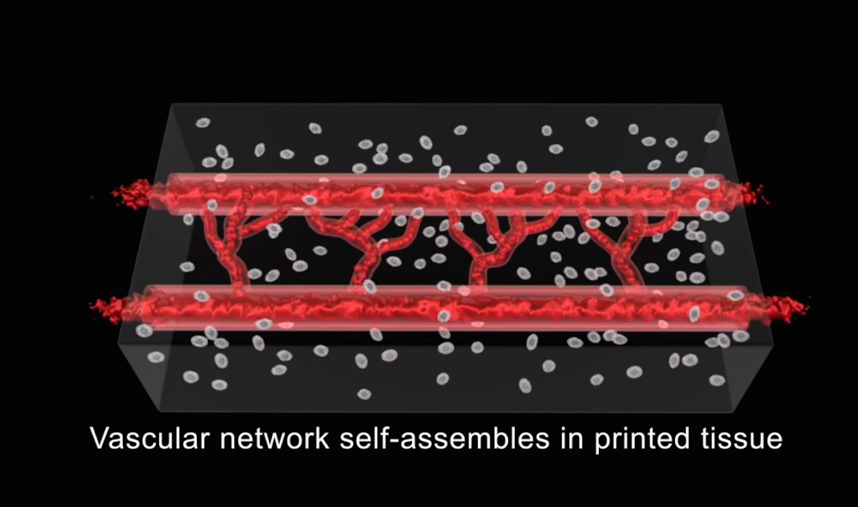 Als Druckmaterial für das Gefäßgerüst dient eine Biotinte aus Zellen und anderen biologischen Materialien. Das Gerüst soll sich in der Petri-Schale weiterentwickeln.
