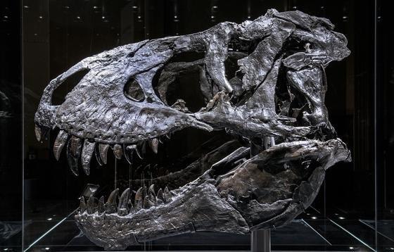 Der echte Dino-Schädel: Weil er für die 66 Millionen Jahre alten Knochen von T-rex Tristan zu schwer ist, wurde eine Kopie mit dem 3D-Drucker angefertigt.