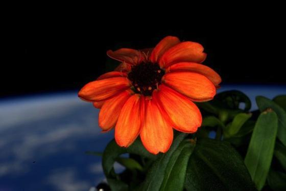 Orangene Zinnie: Die erste Blume blüht im Weltall. Weil sie von US-Astronaut Scott Kelly intuitiv richtig gepflegt wurde.