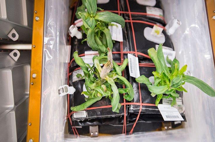 Gestresste Pflanzen im All: Auf der Internationalen Raumstation ISS wird auch an Pflanzen geforscht.