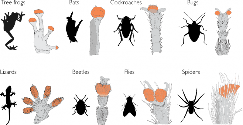 Die US-Forscher haben sich äußerst unterschiedliche kletterfähige Tiere und deren Haftstrukturen angeschaut.