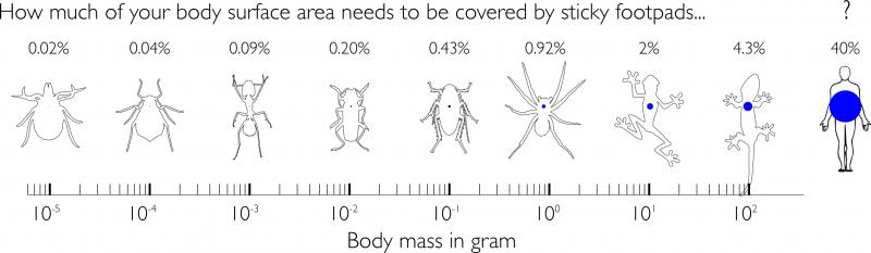 Von der Milbe zum Gecko vergrößert sich der für die Haftung benötigte Anteil der Körperoberfläche um das 200-fache.