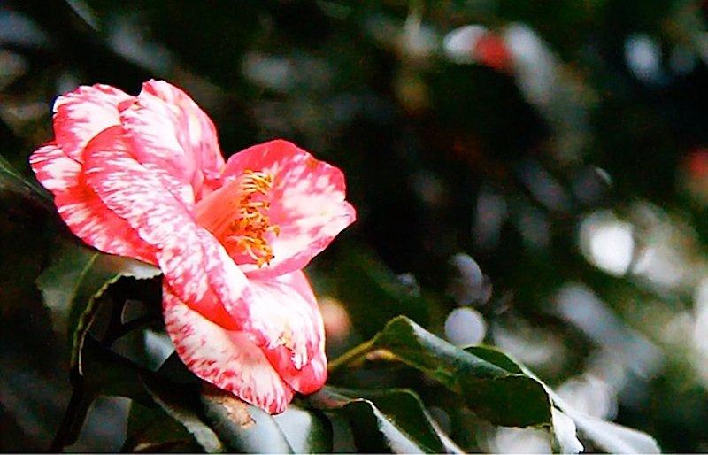 Blühender Bonsai.