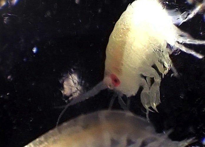 Aufnahme eines antarktischen Ruderfußkrebses, der in der Plättcheneisschicht lebt. Die Eisschicht ist Lebensraum für eine einzigartige Gemeinschaft aus Algen, Zooplankton, Anemonen, Fischen und anderen Lebewesen.