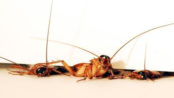 Kakerlakenkönnen sich besonders flach machen und zum Beispiel auf denSchienbeinen weiterkrabbeln. Nach diesem Vorbild haben US-Ingenieure nun einen Miniroboter konstruiert, der zu Verschütteten vordringen soll.