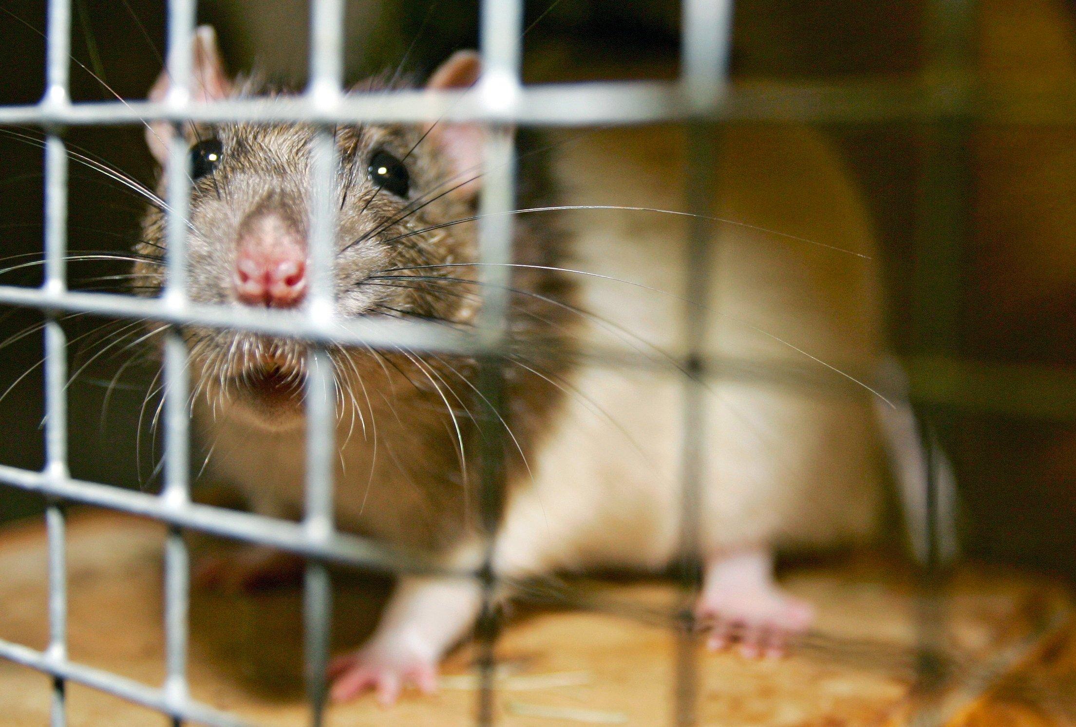 Die Ratte ist ein beliebtes Versuchstier in der medizinischen Forschung. Ihr Genom gleicht zu 90 % dem Erbgut des Menschen.