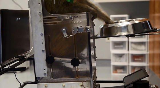 Auf dem Screenshot von einem Video der Duke University Medical School in Durham (USA) ist zu sehen, wie ein Rhesus-Affe, der in einem Rollstuhl fährt, in einen Essensnapf greift. Einen Rollstuhl allein mit Gedankenkraft steuern – im Affenversuch ist dies jetzt gelungen.