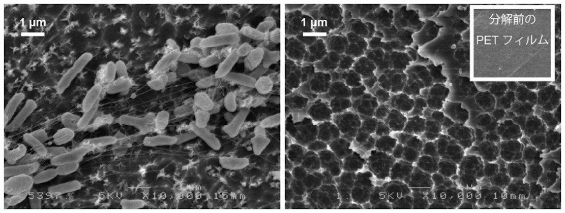 Die Bakterie Ideonella sakaiensis kann sich an der äußerst glatten PET-Oberfläche andocken und beginnt dann, mit einem bisher unbekannten Enzym, das auf den Namen PETase getauft wurde, den Kunststoff zu zersetzen.