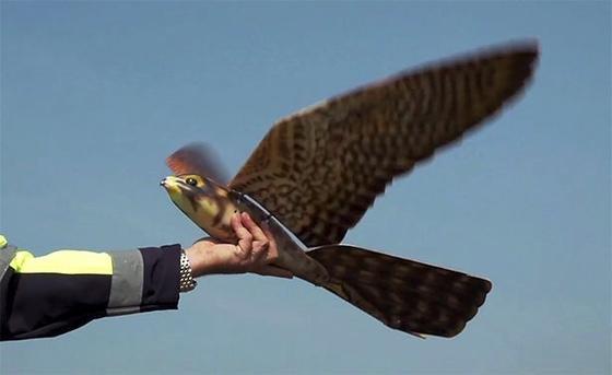 Robird kurz vor dem Abflug: Künftig könnte der Roboter-Falke an Flughäfen dafür sorgen, dass sich immer weniger Vögel dorthin trauen und damit auch die Gefahr von Kollisionen mit Flugzeugen sinkt.