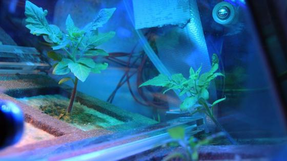 In zwei Gewächshäusern im Innern desSatelliten Eu:CROPIS sollen Tomaten im Weltall wachsen.