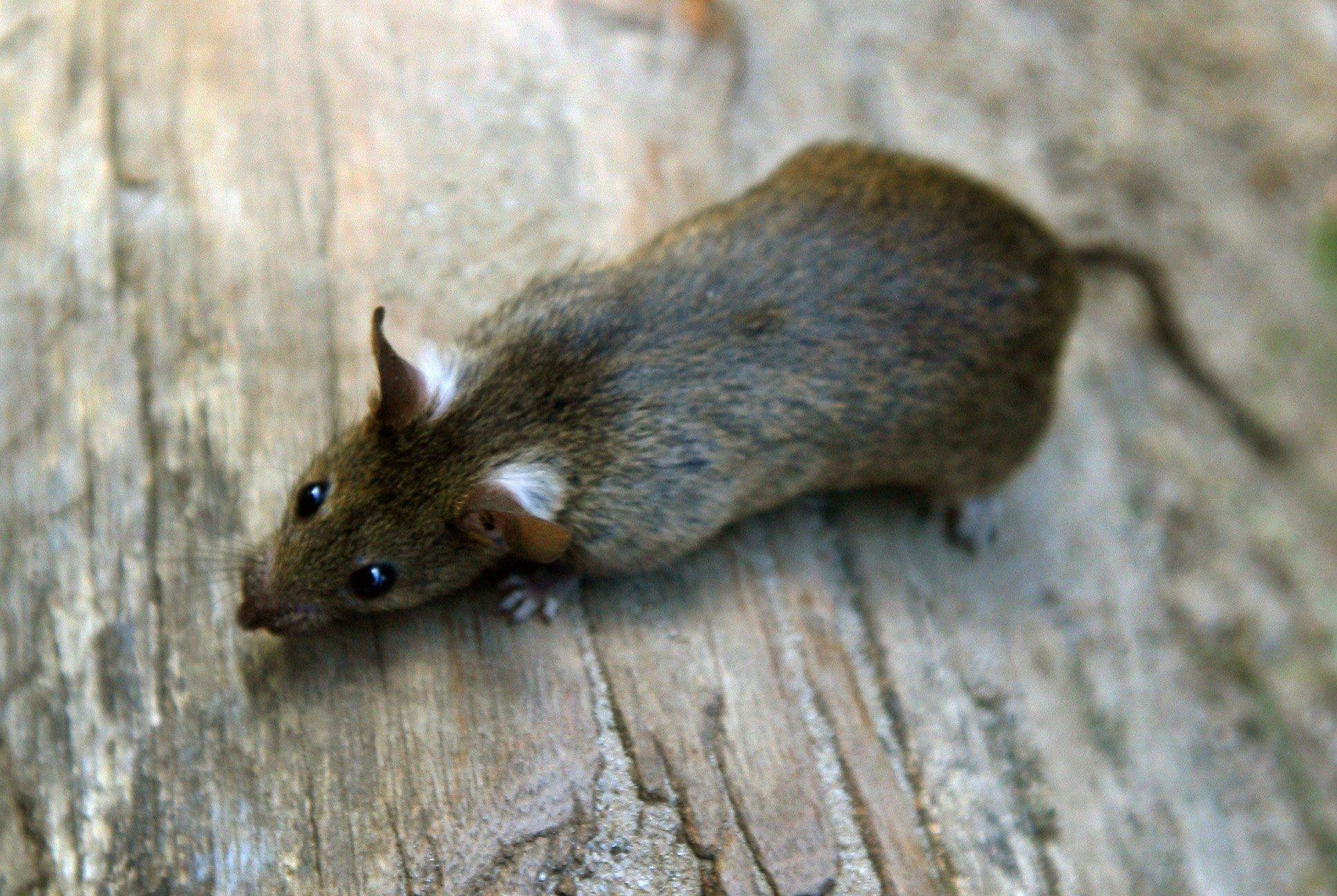 Ratte: In den USA wurden an 2500 Ratten die Auswirkungen von Mobilfunkstrahlen getestet. Zwei Jahre lang wurden sie bis zu neun Stunden täglich mit Radiowellen der mobilfunktypischen Frequenzen 900 und 1900 Megahertz bestrahlt.