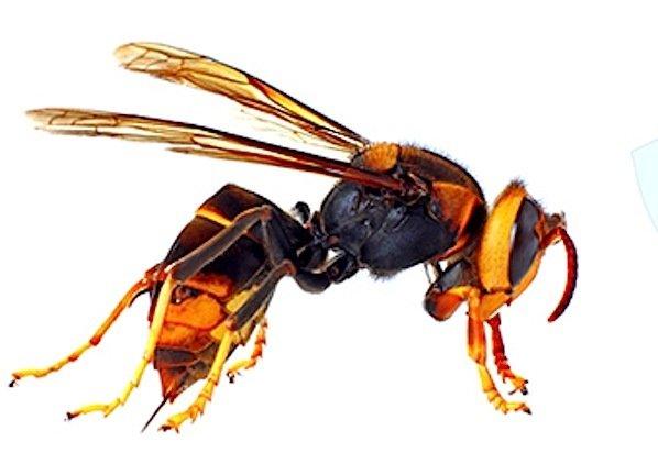 Die Asiatische Hornisse wird von Bienenzüchtern in Europa gefürchtet.