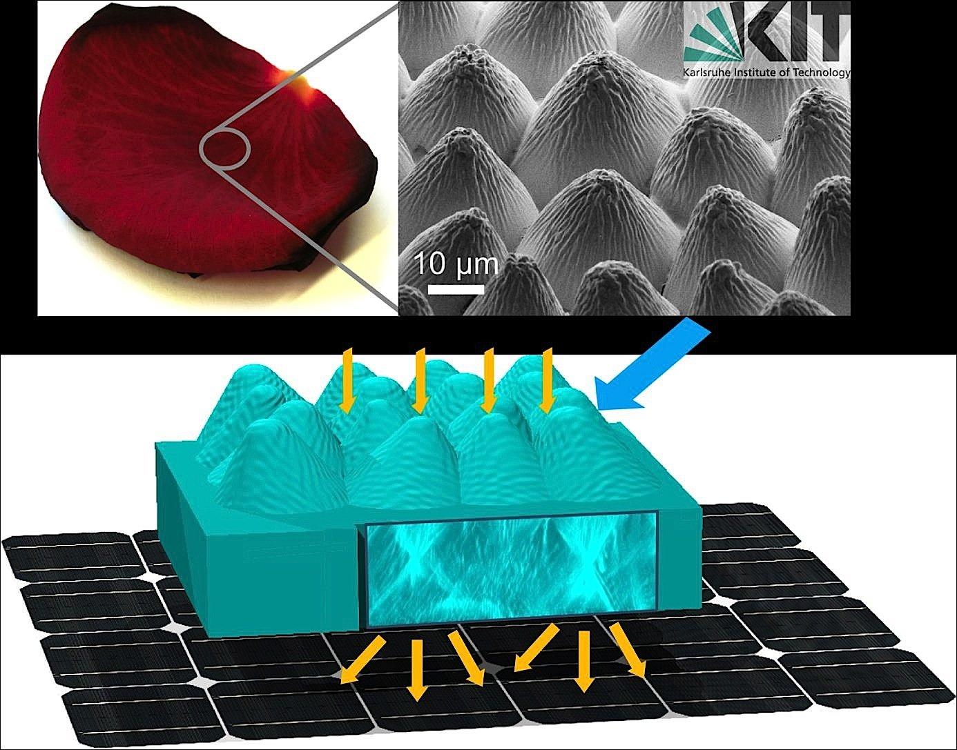 Ingenieure des KIT haben dieEpidermis eines Rosenblütenblatts in einer transparenten Schicht nachgebildet. Diese Schicht wird dann in die Vorderseite einer Solarzelle integriert. Sofort ist diese präparierte Solarzelle bei senkrechtem Lichteinfall zwölf Prozent effektiver.