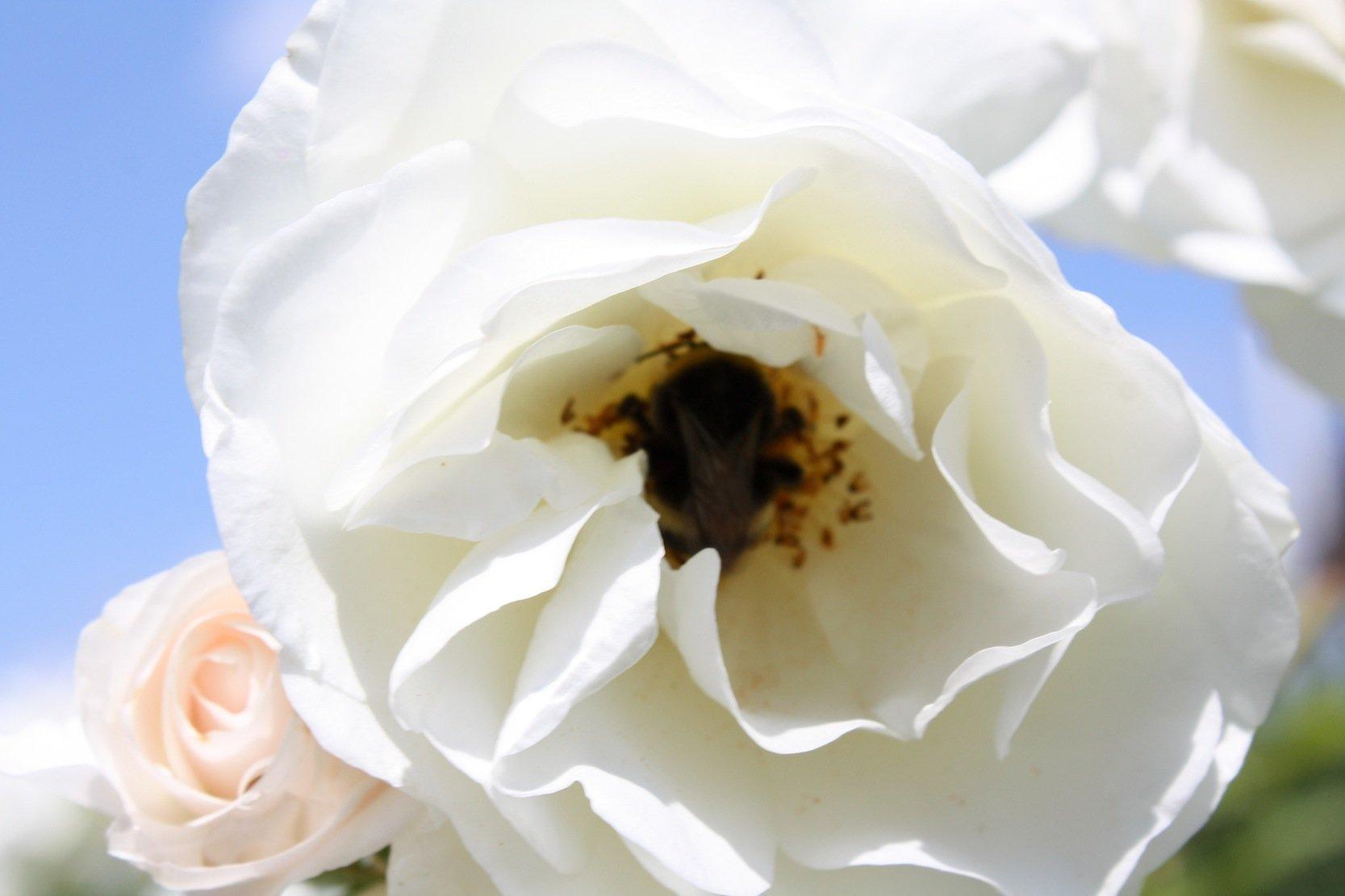 Eine Schneewittchen-Rose im Garten unseres Autors Detlef Stoller: Die Blütenblätter der Rose sind so optimal aufgebaut, dass sie das Sonnenlicht auch aus verschiedenen Richtungen optimal nutzen können.